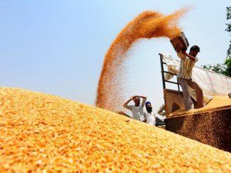 Wheat--621x414