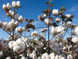 cotton-production-decreases-by-12-81pc-1367613089-2011
