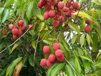 1200px-litchi_chinensis_fruits