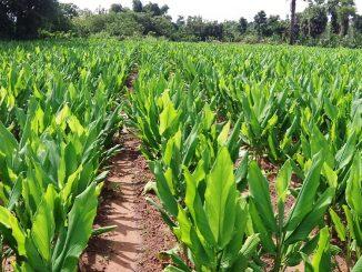 turmeric-farming