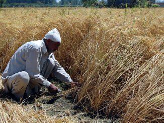 india kashmir paddy crops