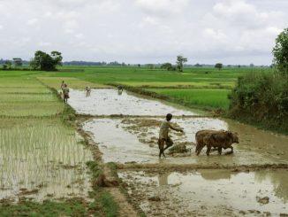 Paddy fields, Jorhat, Assam, India.