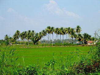 india_-_kerala_-_008_-_paddy_fields_and_palm_trees_2068843030