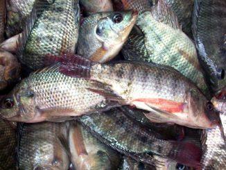 fresh-tilapia
