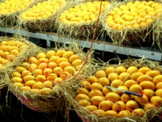indian-mangoes