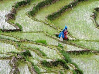 rice-farm-