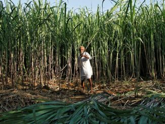 A farmer harvests sugarcane in his field at Motisir village